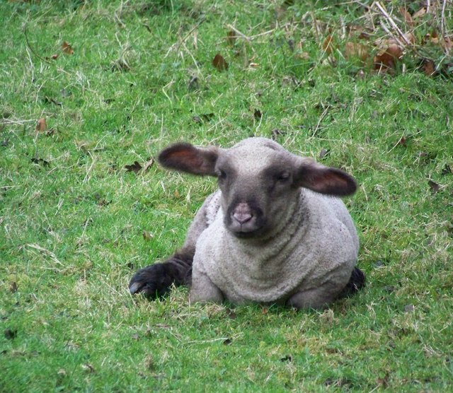 Too young for mint sauce