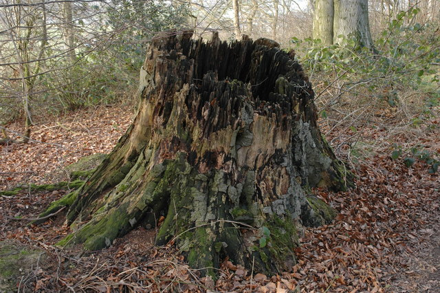 Tree stump, Baker's Hill