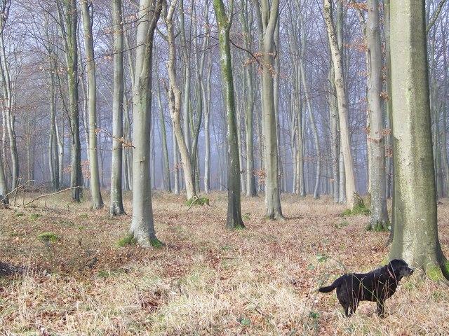 Beech trees at Vernditch