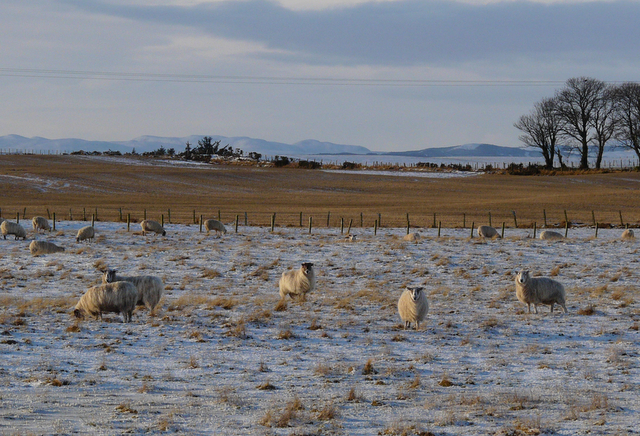 Winter sheep, Tarrel