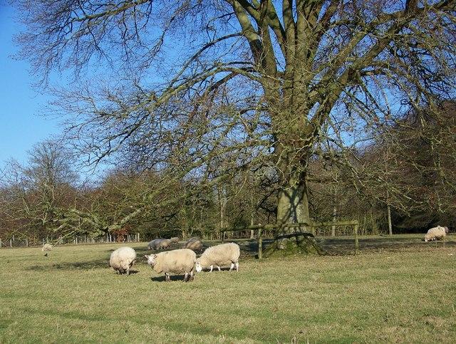 Sheep in Rushmoor Park