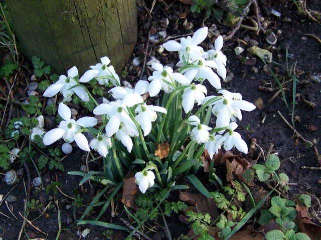 Snowdrops and Snails