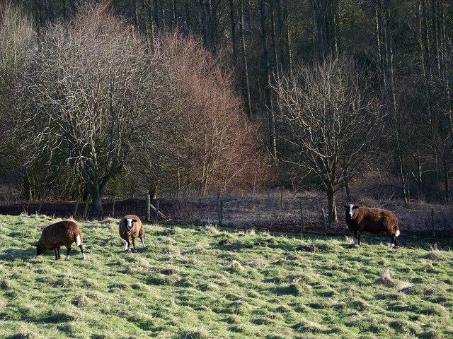 Balwen Sheep near Ebbesbourne Wake