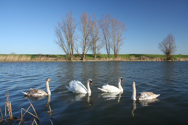 Swan family on the Great Ouse