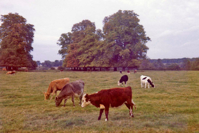Cows at Wimpole Hall Farm, Cambridgeshire