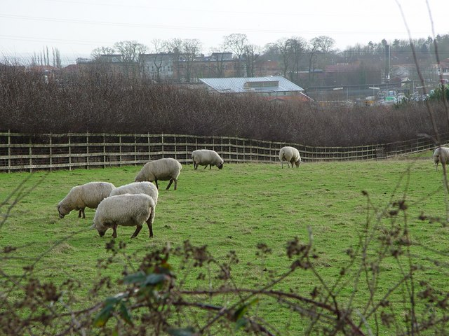 Grazing for Sheep