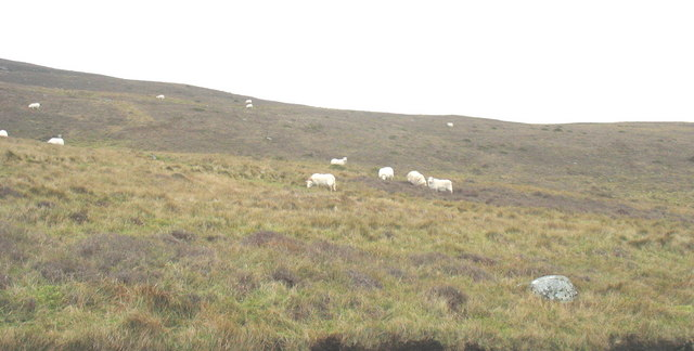 Sheep grazing on Yr Eifl