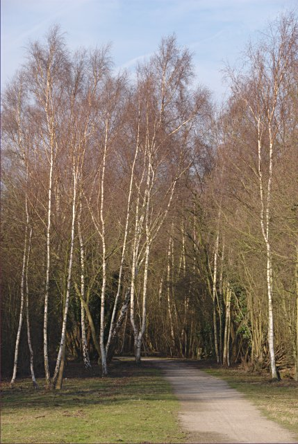 Fine stand of birch trees beside the Cloud Trail