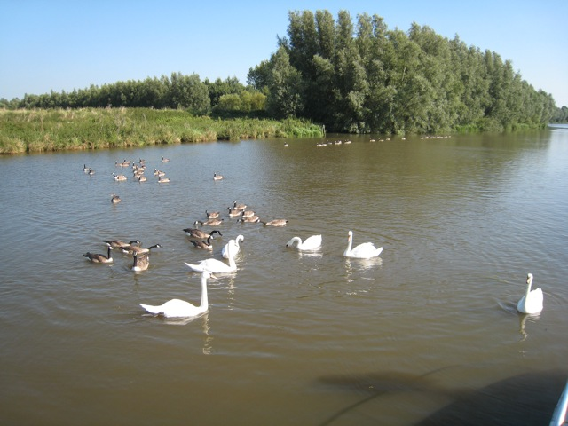 Swans on River Cam