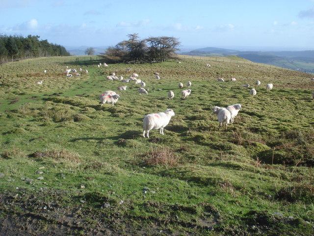 Sheep on Stanlo Tump