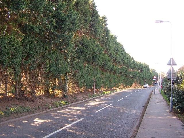 Cypress tree hedge
