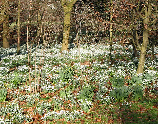 Snowdrops through beech leaves
