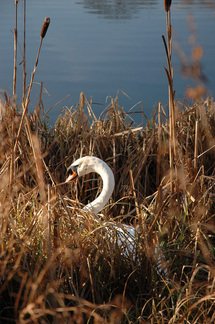 Mute Swan, Frampton-on-Severn