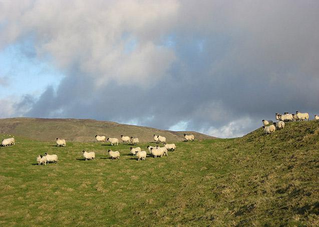 Sheep on Loch Hill
