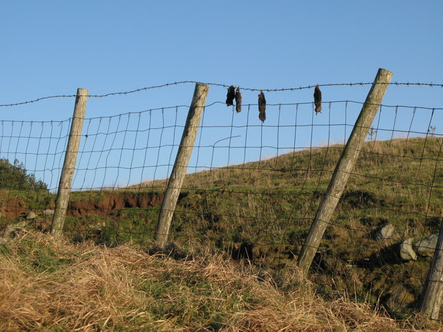 Moles on a (barbed) wire