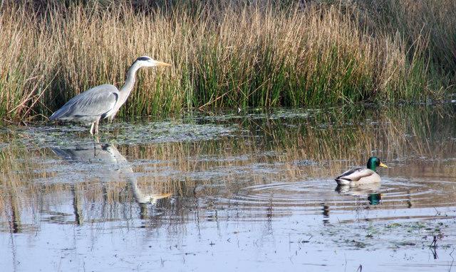 Heron & Duck