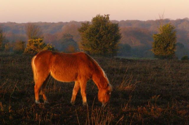 Grazing pony on Longcross Plain, New Forest