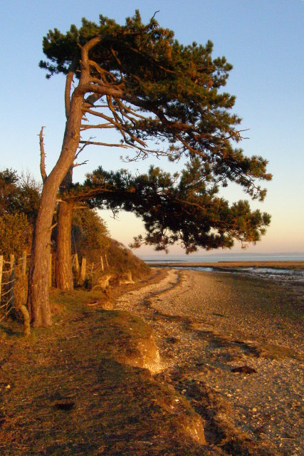 Undermined pines on the shore