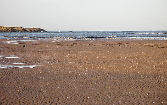 Gull roost, Tyne Sands