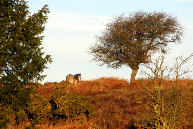 Pony on Deadman Hill, New Forest