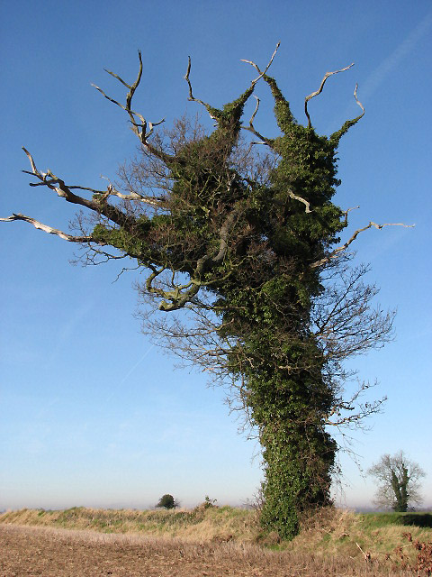 Ivy-clad tree growing beside the road