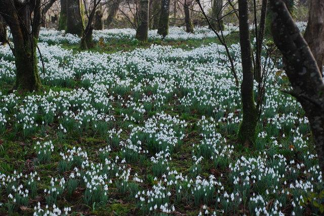 Eirlysiau ar Lan Afon Dwyfor - Snowdrops on the Banks of Afon Dwyfor