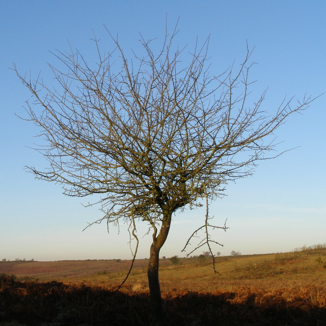 Thorn tree, Black Gutter Bottom, New Forest