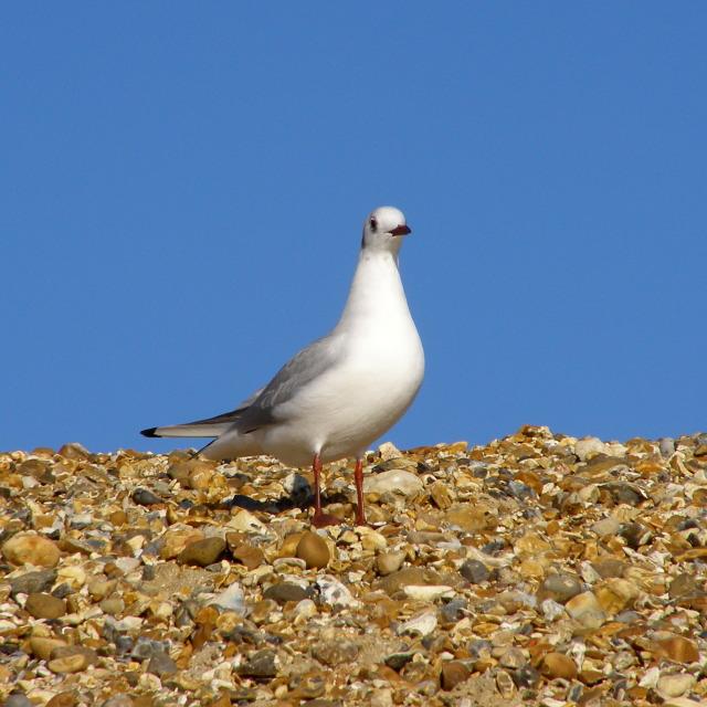 Gull, Hurst Beach