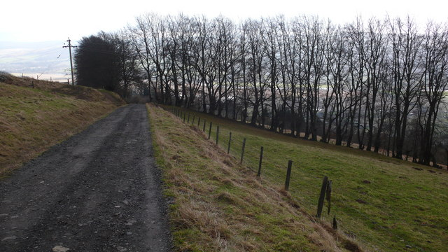 Track and line of beech trees
