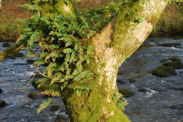Rhedyn a Mwsogl ar Goeden - Ferns and Moss on a Tree