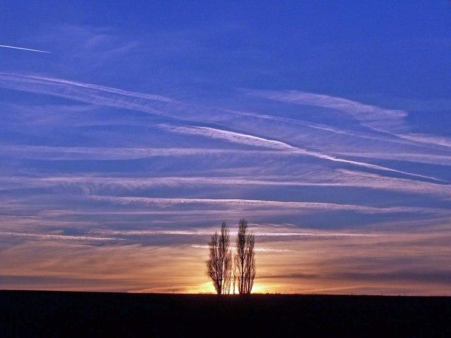Poplars at sunset