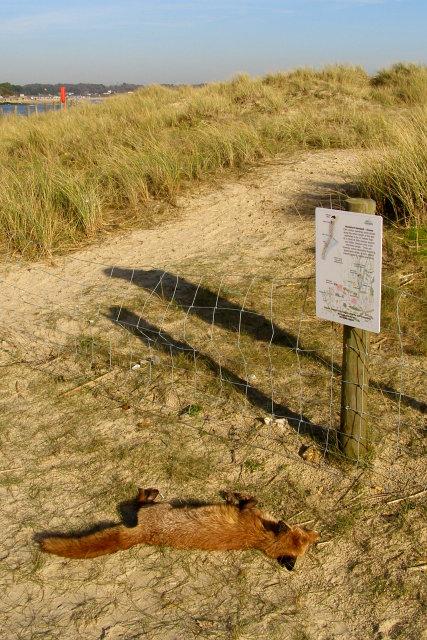 Dead fox on Mudeford Spit