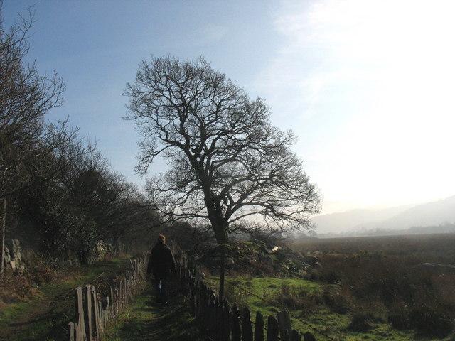 Tree on the edge of the Afon Rhythallt flood-plain