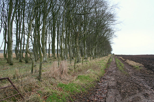 Strip of Beech trees by North garmond Farm