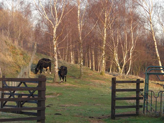 Rare Breed Shetland Cattle