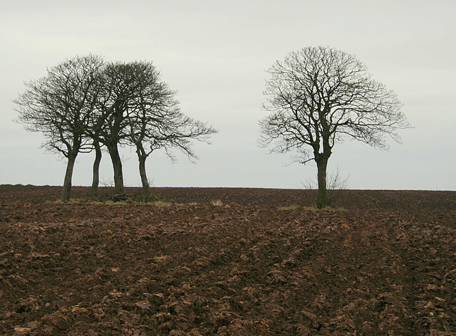 Beech trees to the north of Dalgarno's Croft