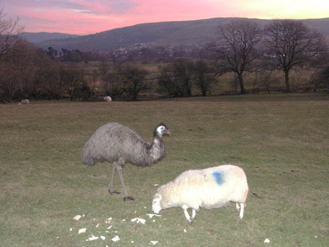 Emu and sheep at sunset