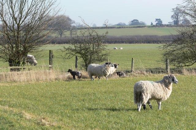 Sheep and lambs next to Crow Lane