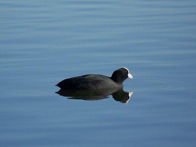 Coot on Heath Pond, Petersfield