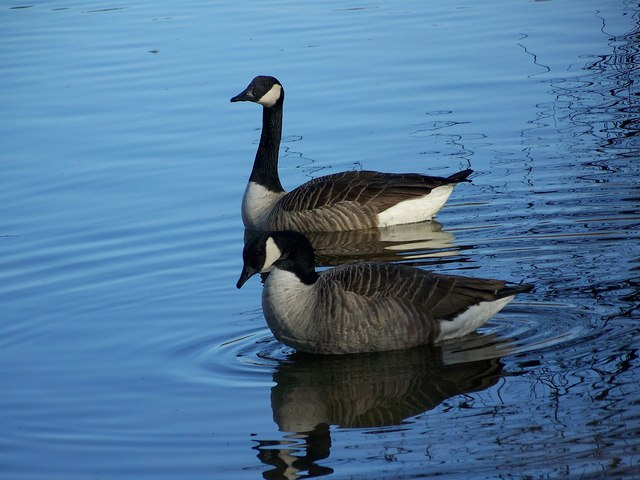 Canada Geese, Heath Pond, Petersfield
