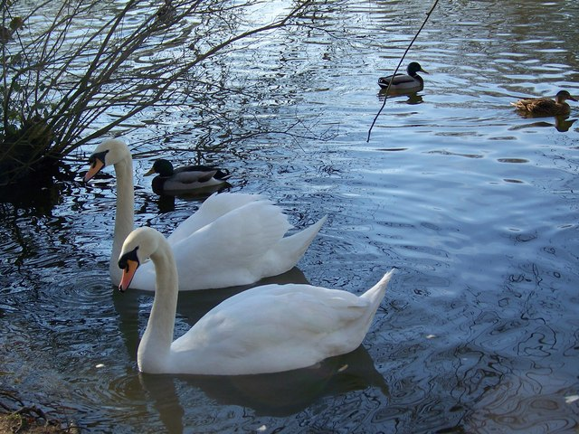 Swans, Heath Pond, Petersfield