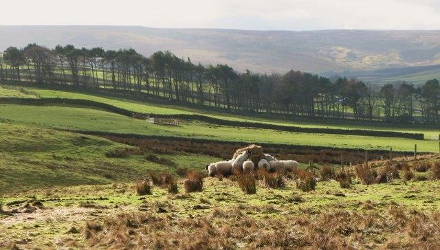 Hungry sheep near Parkgates
