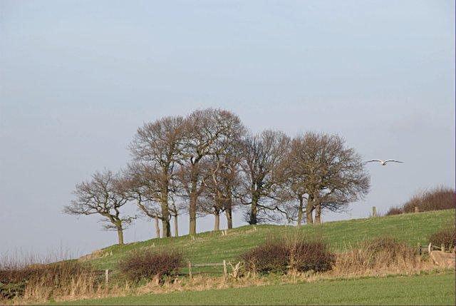 Clump of trees near Stanton-by-Bridge