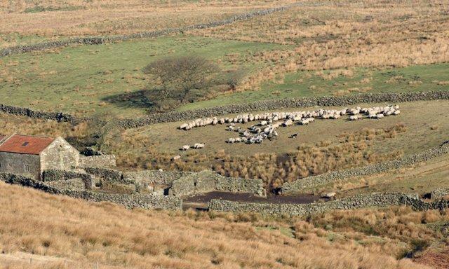 Sheep Feeding, High Hamer