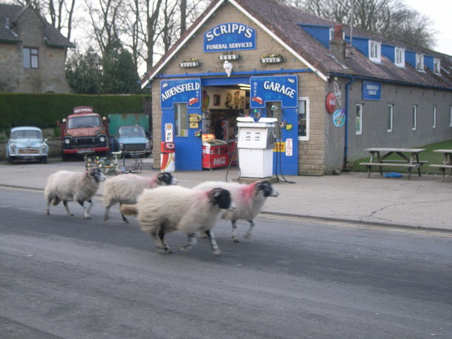 Scripp's Garage and sheep running along outside