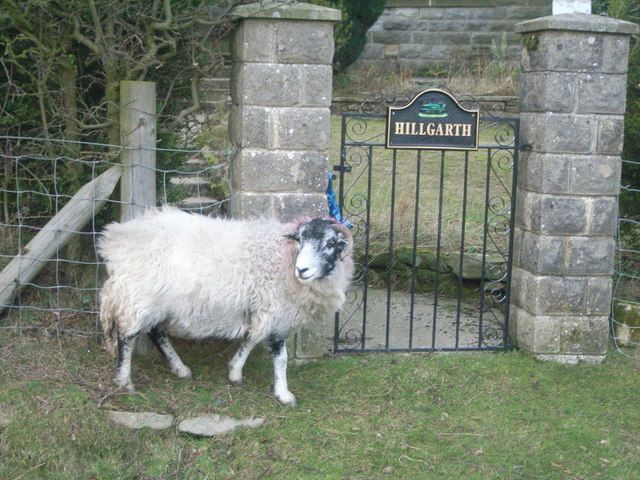 Sheep outside Hillgarth House in Goathland