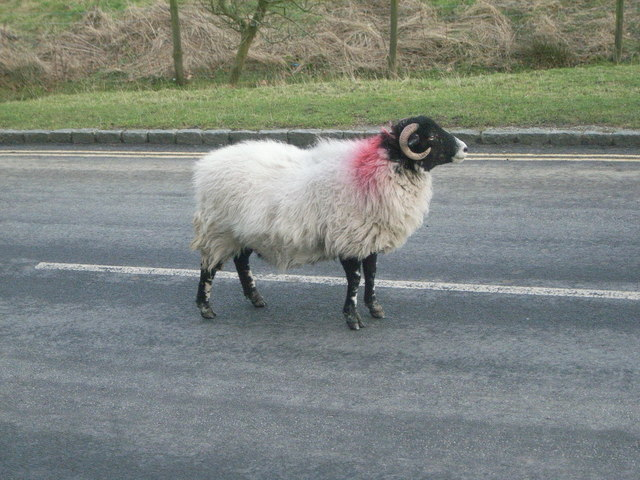 Pensive sheep in middle of road in Goathland
