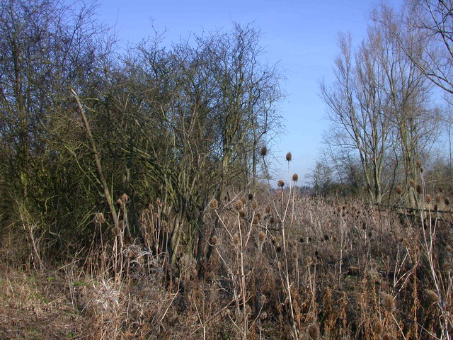 Teasles by the Madingley footpath