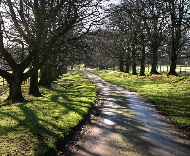 Avenue of beech trees