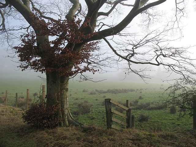 Beech near Hill End
